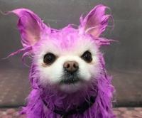 собачий стилист, окрашивание, яркие волосы, цветные волосы