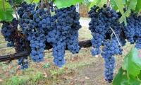 виноград,омоложение,морщины,Collistar,Anti Age,крем