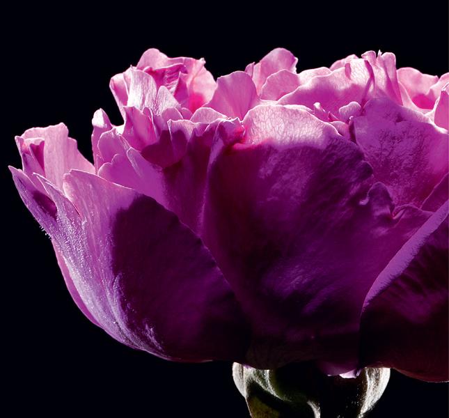 YSL Paris Premieres Roses аромат