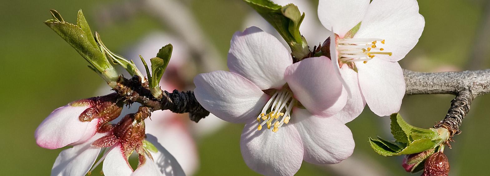 Цветы миндального дерева : новая увлажняющая линия KORRES Almond Blossom