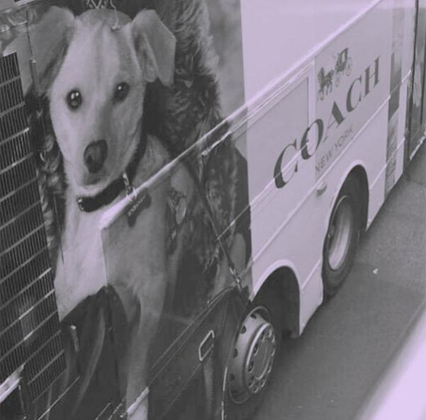 Модный пес: йорк Миранды Керр стал лицом Coach